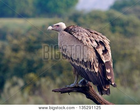 Griffon vulture (Gyps fulvus) sitting on a branch in its habitat