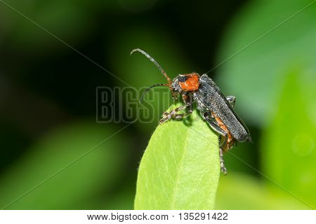 Beetle - Firefighter posing on a blade of grass