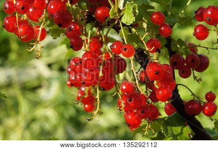Branch of red currant with berries (Ribes rubrum) after the rain