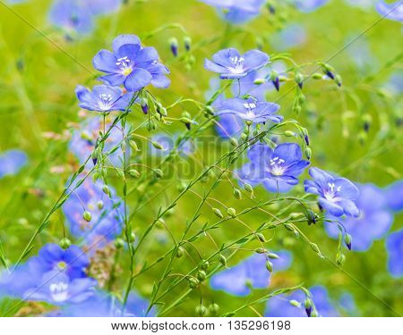 flax flowers. A field of blue flax blossoms. blue flax. blue flax field closeup at spring shallow depth of field.