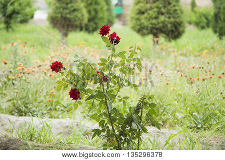 Red Rose in Park of Samanids in Bukhara