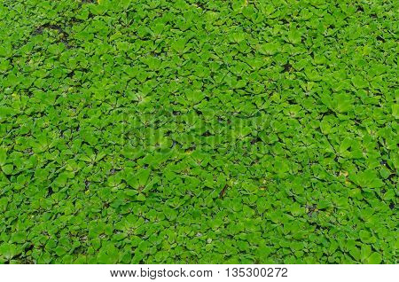 Pattern of Pistia stratiotes float on the canal. Suitable for use as wallpapers.