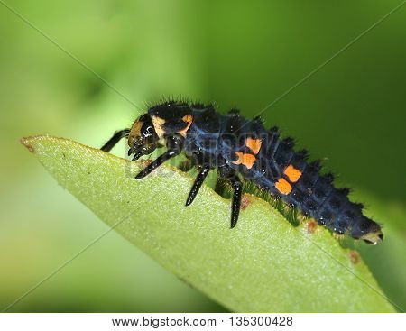 Ladybug larva crawling on natural green leaf