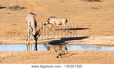 Drinking At The Dam - Greater Kudu - Tragelaphus Strepsiceros