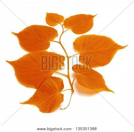 Autumnal Tilia Leafs