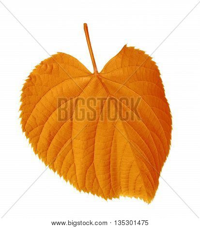 Autumn Tilia Leaf
