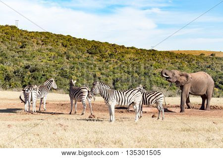 The Zebra Group - Burchell's Zebra