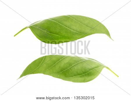 Basil leaves spice closeup isolated on white background, with clipping path