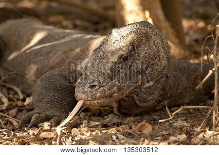 Komodo Dragon, the largest lizard in the world, Komodo Natinal Park, Indonesia