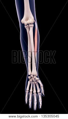 3d rendered, medically accurate illustration of the extensor carpi radialis brevis