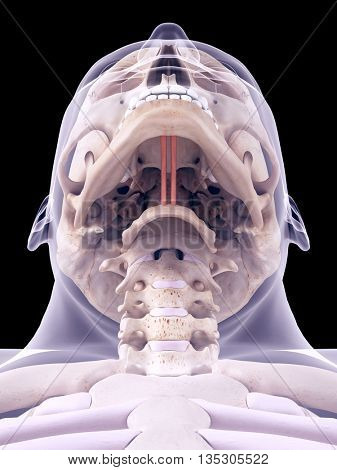 3d rendered, medically accurate illustration of the geniohyoid