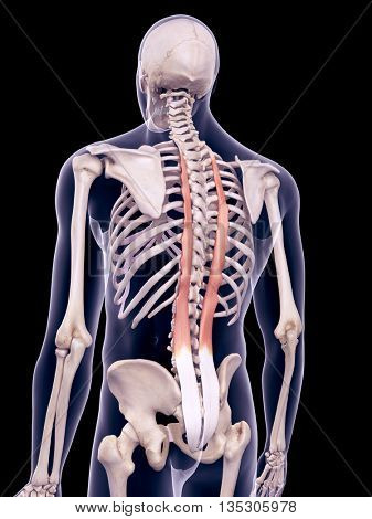 3d rendered, medically accurate illustration of the longissimus thoracic