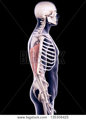 3d rendered, medically accurate illustration of the latissimus dorsi