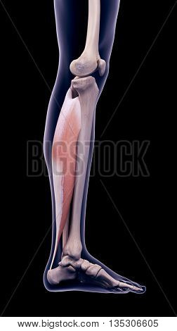 3d rendered, medically accurate illustration of the soleus