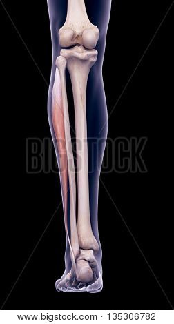 3d rendered, medically accurate illustration of the peroneus longus