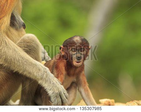 Proboscis monkey baby and mother