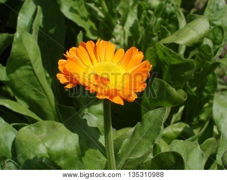 One calendula orange flower on a sunny day.