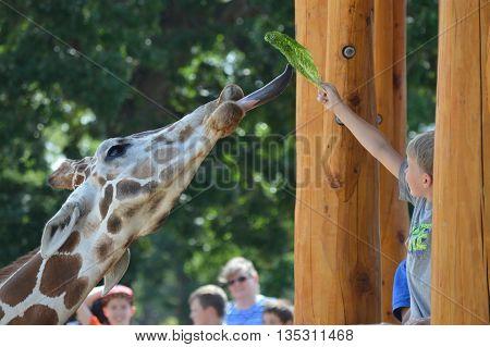 SAINT PAUL, MN, USA - JUNE 10, 2016: Feeding the giraffe at the new feeding station at Como Zoo.