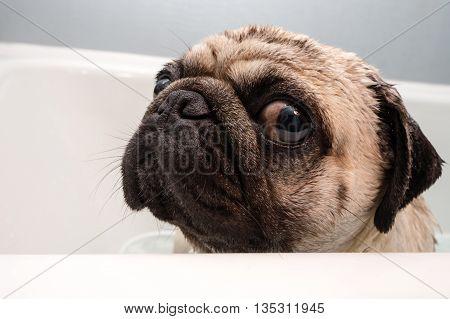 A sad looking pug don in a bath tub