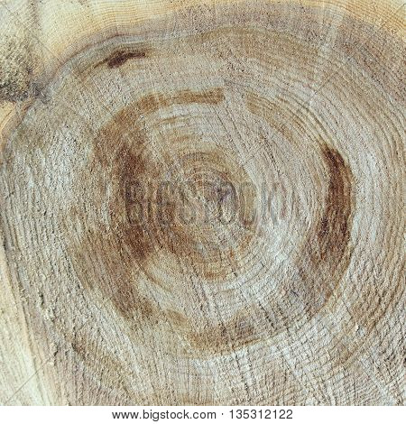 Texture saw cut the old tree in the reconstruction of the city park Gatchina Leningrad Region, Russia.
