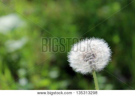 plant dandelion Taraxacum officinale flowers in summer