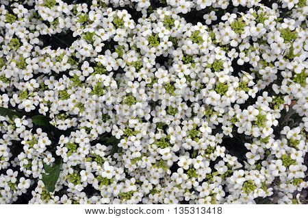 Background and texture of small white flowers with yellow stamens