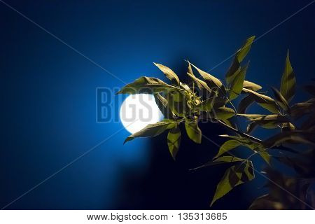 Green leaves absorb the night the moon on a background of blue sky and tree silhouette.