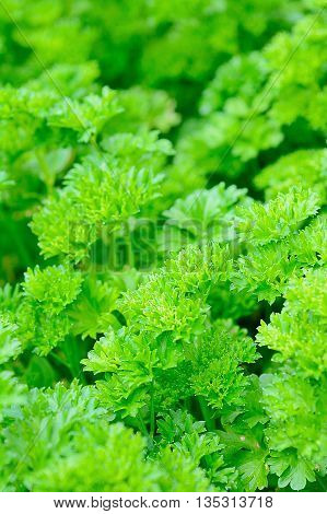 Fresh parsley closeup. Green young parsley in garden.