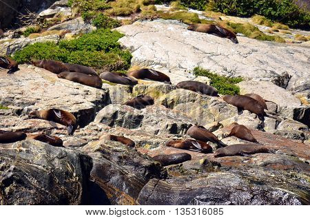 Colony of Sea Lions sleeping and basking in the sun on a rock in Milford Sound, New Zealand