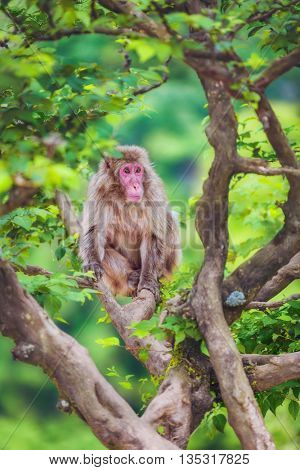 Japanese macaque on the branch, Iwatayama Monkey Park, Arashiyama, Kyoto, Japan