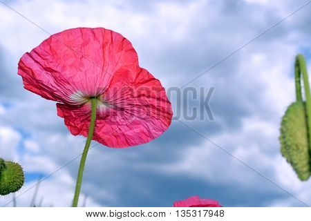 Vibrant Pink Poppy Flower Blooms Beneath Sky