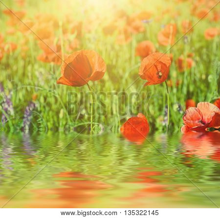 Red poppy flowers blooming in the green grass field, floral sunny natural spring background with water reflection, can be used as image for remembrance and reconciliation day