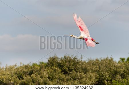 Colorful Roseate Spoonbill banking over mangrove trees