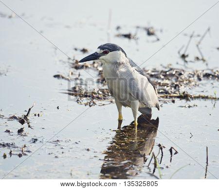Black Crowned Night Heron in a swamp