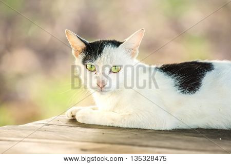 White and black cat is resting on wooden table