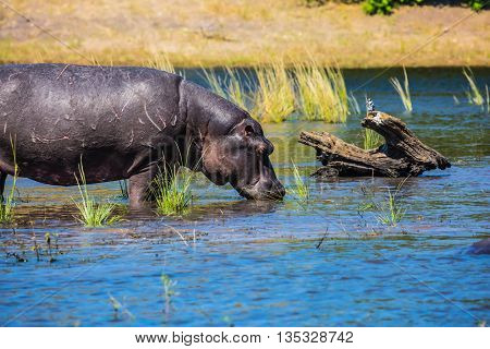 Huge Hippo drinking river water. Botswana, Chobe National Park on the Zambezi River