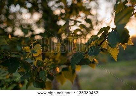 Leaves of birch tree lit thorough by sun shining through summer. Background.