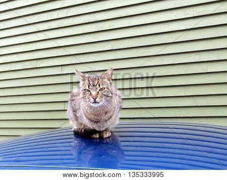 Cat in St. John's in Newfoundland 15 June 2016 Canada
