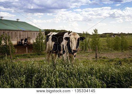 male holstein cow outdoor at the farm