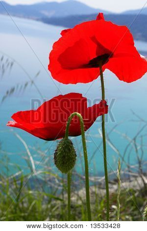 Poppy field with red flowers