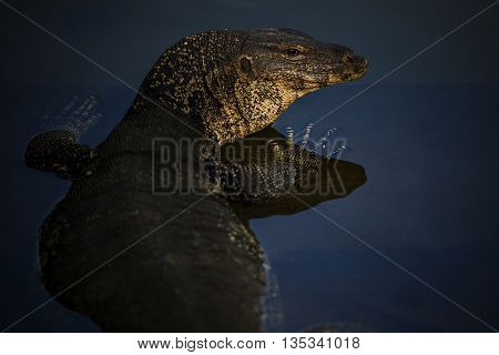 close up face of water lizard monitor in wilderness water pool