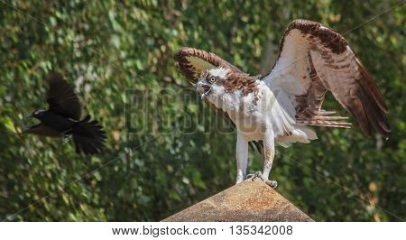 an osprey sitting on a rock with a blackbird flying around it trying to protect its nest