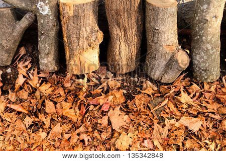 Row of several trunks of firewood standing over dry leaves