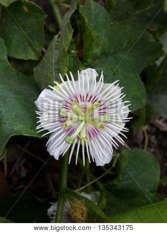 close up passiflora foetida flower in nature garden