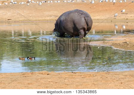 Hippo Standing In A Small Lake