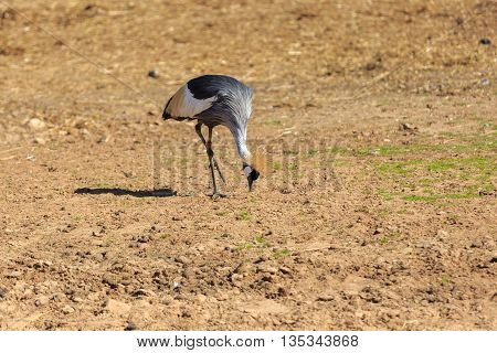 Crowned Crane Who Eat From The Ground