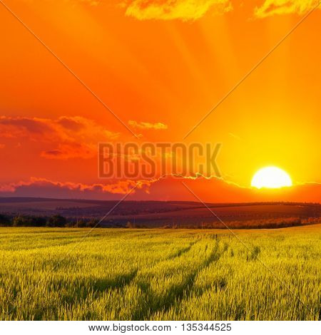Beautiful sunset on wheat field. Bright red sky.