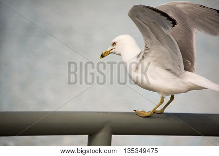 Ring-billed Seagull with water blurred out in the back ground with wings spread apart.