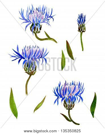 Set of watercolor drawing wild cornflowers and leaves, painted wild plants, botanical illustration in vintage style, color drawing floral set, hand drawn illustration