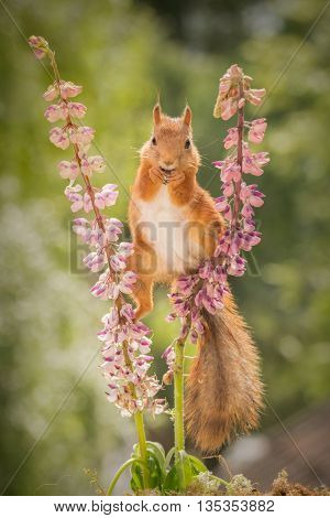 red squirrel standing between 2 lupine flowers with spread legs looking in the lens